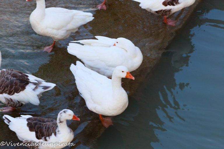 Patos del Segura